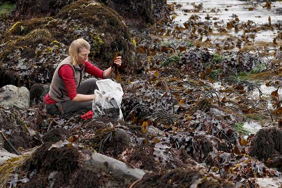 Heidi Herrman,the owner of Strong Arm Farm in Healdsburg, harvesting of kombu seaweed north of Jenner, California on Wed. May 11, 2016, along the California coast.