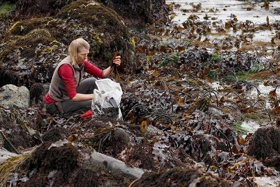 Heidi Herrman,the owner of Strong Arm Farm in Healdsburg, harvesting of kombu seaweed north of Jenner, California on Wed. May 11, 2016, along the California coast.