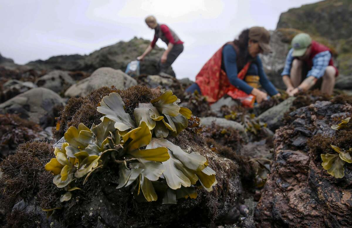 Heidi Herrman the owner of Strong Arm Farm in Healdsburg, (left) is seen along with her helpers Ariana Mazzuchi, and Jack Herron during the harvesting of bladderwrack seaweed north of Jenner, California on Wed. May 11, 2016, along the California coast.
