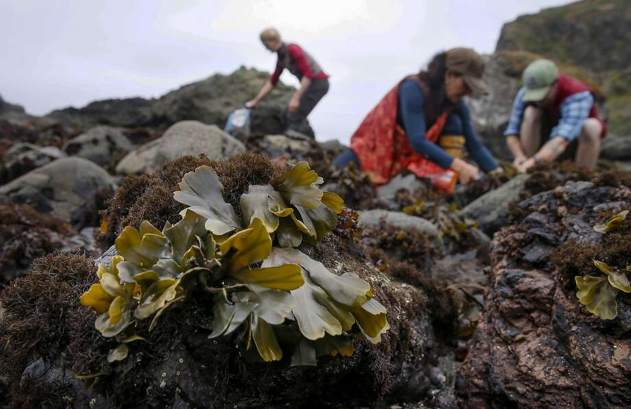 Heidi Herrmann (left), Ariana Mazzuchi and Jack Herron harvest bladderwrack seaweed north of Jenner. Photo: Michael Macor, The Chronicle