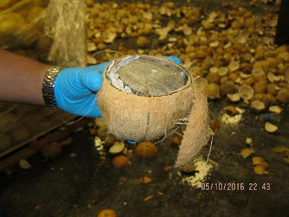 Customs and Border Protection officers at the Texas-Mexico border found more than 1,000 pounds of marijuana stuffed into coconuts on Monday. Photo: U.S. Customs And Border Protection
