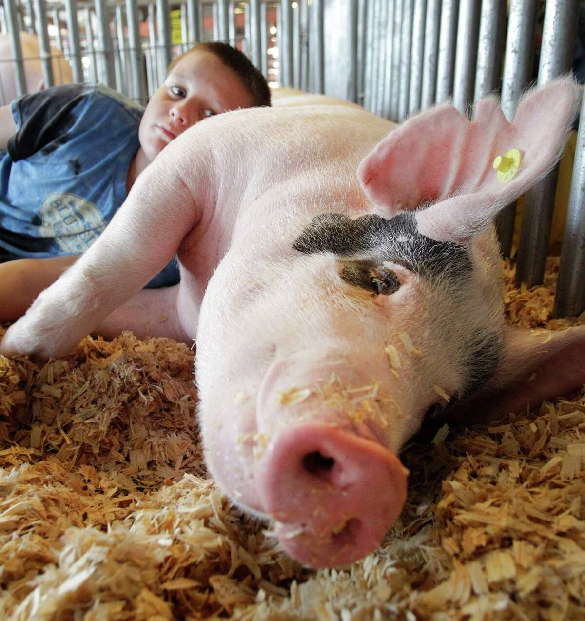 Trenton Steinfeld, 10, of Rosenberg uses his brother's pig named Diesel as a pillow at the Fort Bend County Fair & Rodeo, 4310 Hwy. 36 South in Rosenberg Sunday, Sept. 28, 2014, in Rosenberg. Diesel will be shown by Trenton's nine-year-old brother, Landon Steinfeld. Both of the boys are members of the B.F. Terry FFA. The Fort Bend County Fair & Rodeo continues through Oct. 5. ( Melissa Phillip / Houston Chronicle )