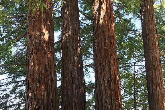 The�redwood trees columnist Vanessa Hua's parents planted when she was a kid.