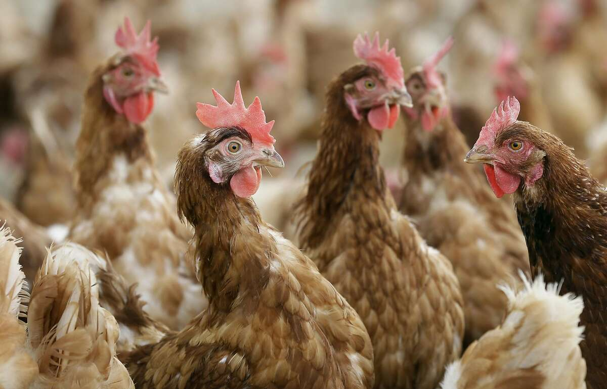 Cage-free chickens stand in a fenced pasture on the Francis Blake organic farm, Wednesday, Oct. 21, 2015, near Waukon, Iowa. Blake gathers an average of 2,500 dozen eggs a week from his flock of 5,000 cage-free hens. An increasing customer demand for more eggs from chickens free from cages has left U.S. egg farmers with the question of whether to spend millions of dollars to convert or build cage-free barns. (AP Photo/Charlie Neibergall)