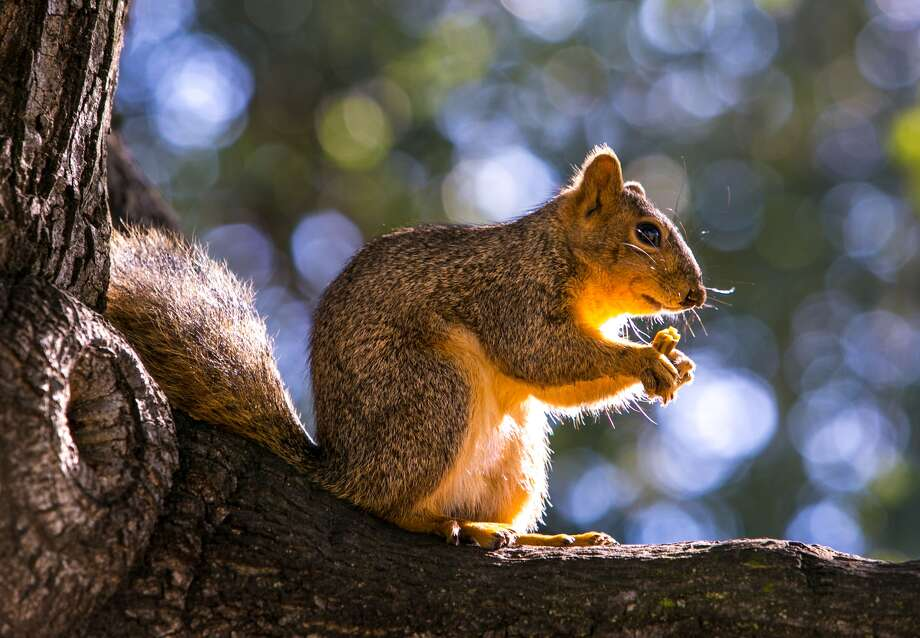 SEBASTOPOL, CA - FEBRUARY 25: A squirrel chews on an acorn as viewed along Highway 116 on February 25, 2015, in Sebastopol, California. Millions of visitors annually trek to California's North Coast seeking a wide variety of Wine Country experiences, including wine tastings, vineyard tours, and fine dining. (Photo by George Rose/Getty Images)