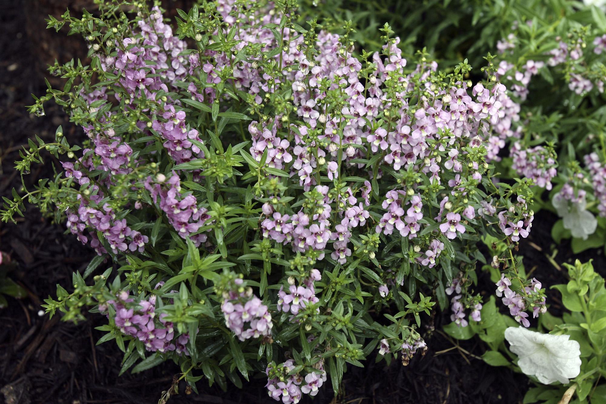 The Dominion San Antonio >> Calvin Finch: Texas Superstar plants for your garden - San Antonio Express-News