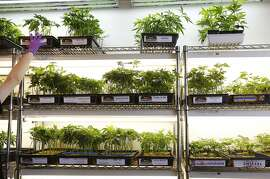 Ian Almerico, a clones consultant, puts a tray of clones back on a shelf at Harborside Health Center medical cannabis dispensary May 12, 2016 in Oakland, Calif.