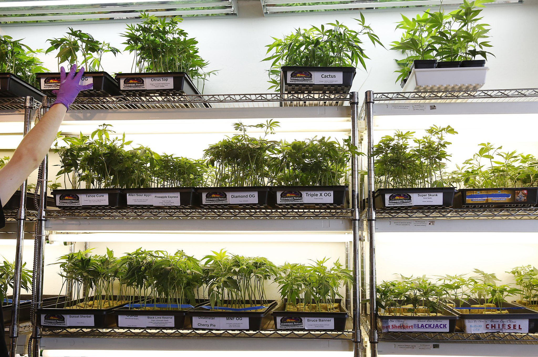 Oakland's revised pot laws add residency requirement - SFGate