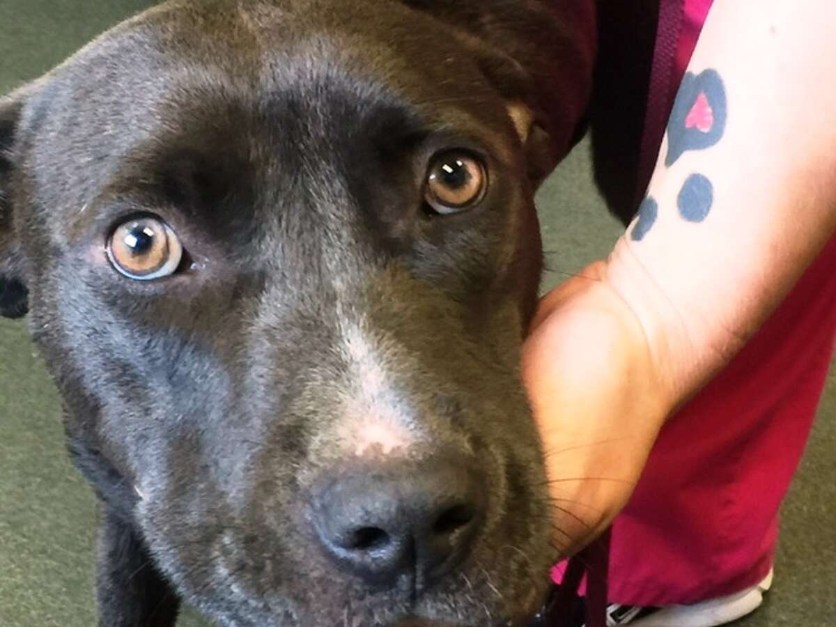 This dog, named Ripley after the street she was found on, suffered serious injuries as a result of three collars being tightly wound around her neck.