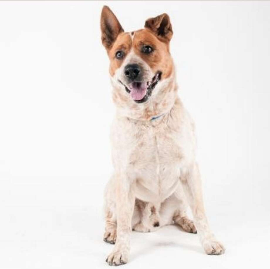 Browse rescue animals available for adoption in San Francisco.Noble is a 6-year-old Australian cattle dog mix. He is currently at the SPCA Pacific Heights location. Find more information at San Francisco SPCA. Photo: Courtesy Of San Francisco SPCA