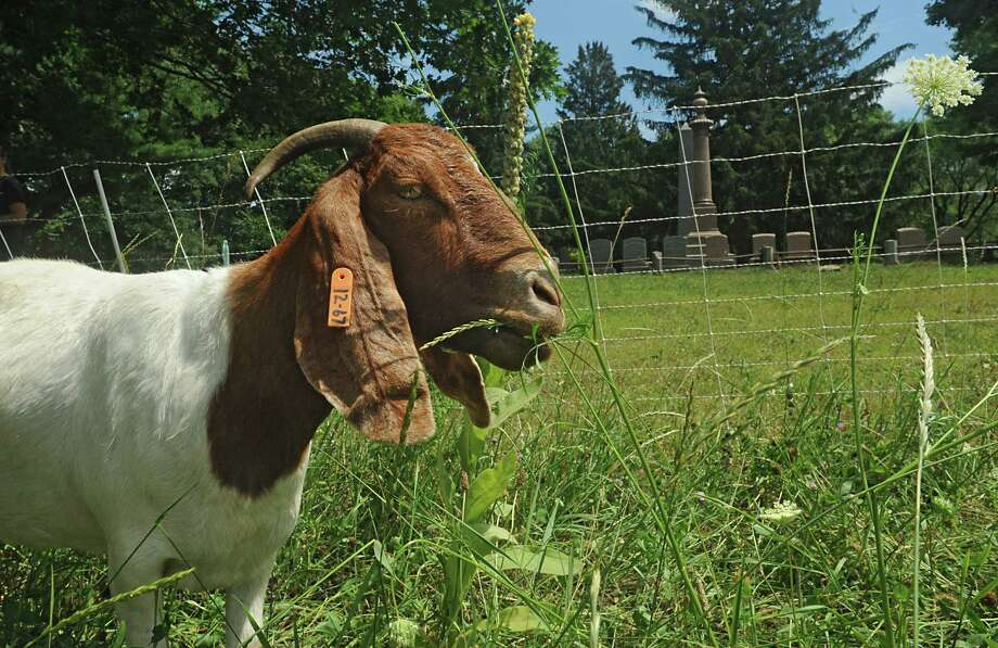 Sheep and goats from SUNY Cobleskill replace mowing the grass at Historic Vale Cemetery on Tuesday, July 21, 2015 in Schenectady (Lori Van Buren / Times Union) Photo: Lori Van Buren / 00032688A