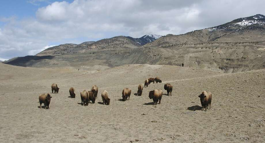 Bison graze in Yellowstone National Park near Gardiner, Mont., in March. Photo: Matthew Brown, Associated Press