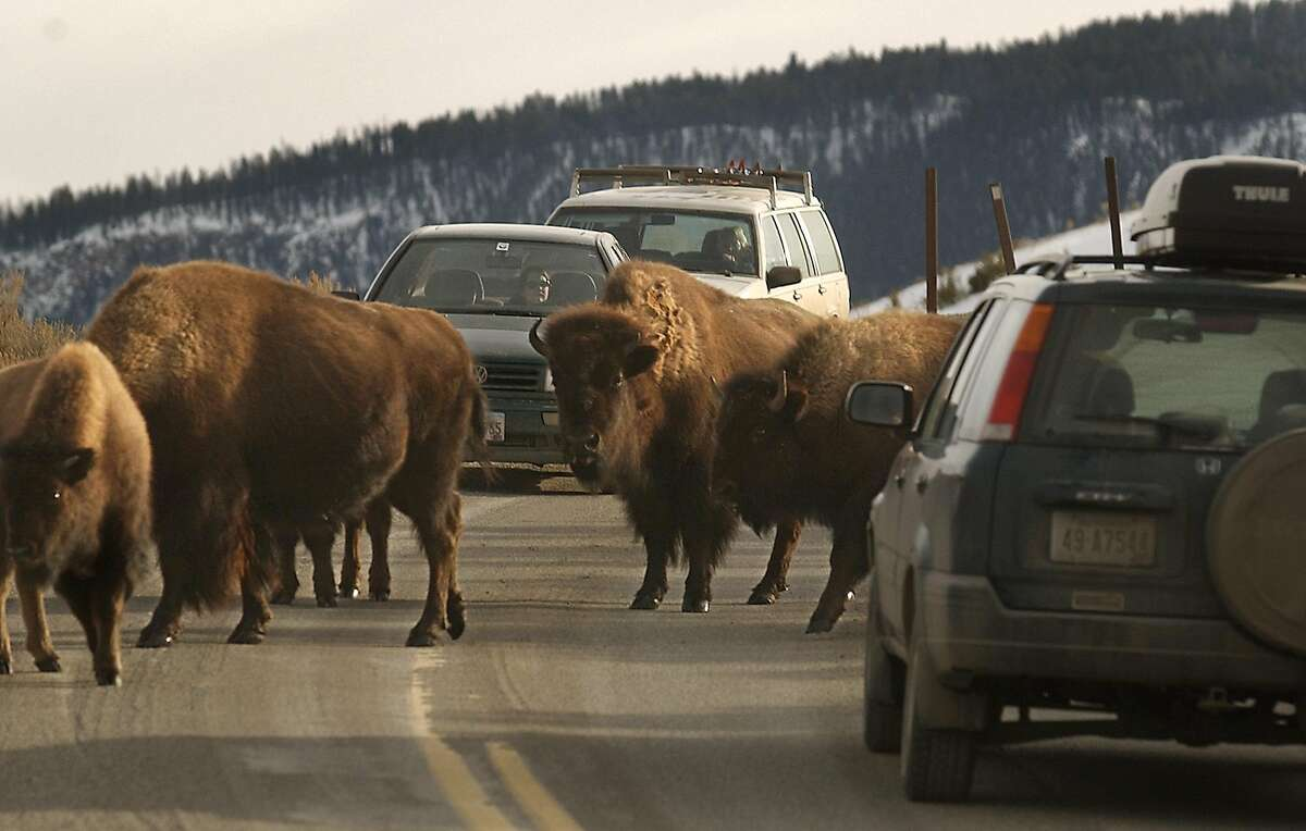 A herd of bison causes a traffic jam while crossing the road in Yellowstone National Park.