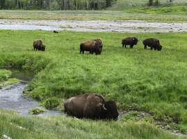 FILE - In this June 19, 2014 file photo, bison graze near a stream in Yellowstone National Park in Wyoming. Yellowstone National Park plans to start shipping many of its famous wild bison to slaughter on Wednesday, March 9, 2016, in response to concerns by the livestock industry over a disease carried by the animals. (AP Photo/Robert Graves, File)