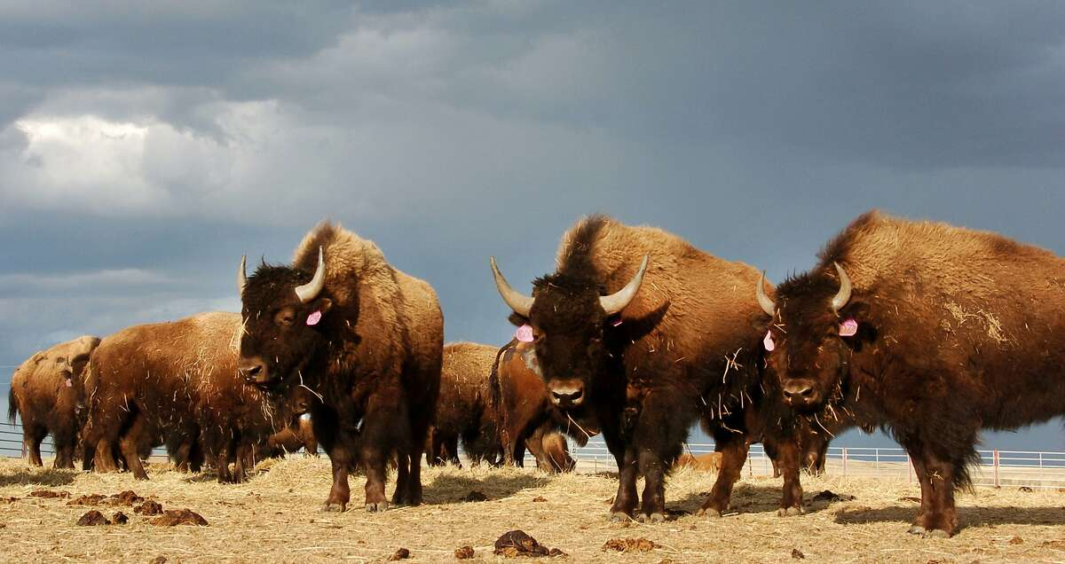 In an April 24, 2012, file photo, a herd of bison are on the Fort Peck Reservation near Poplar, Mont.