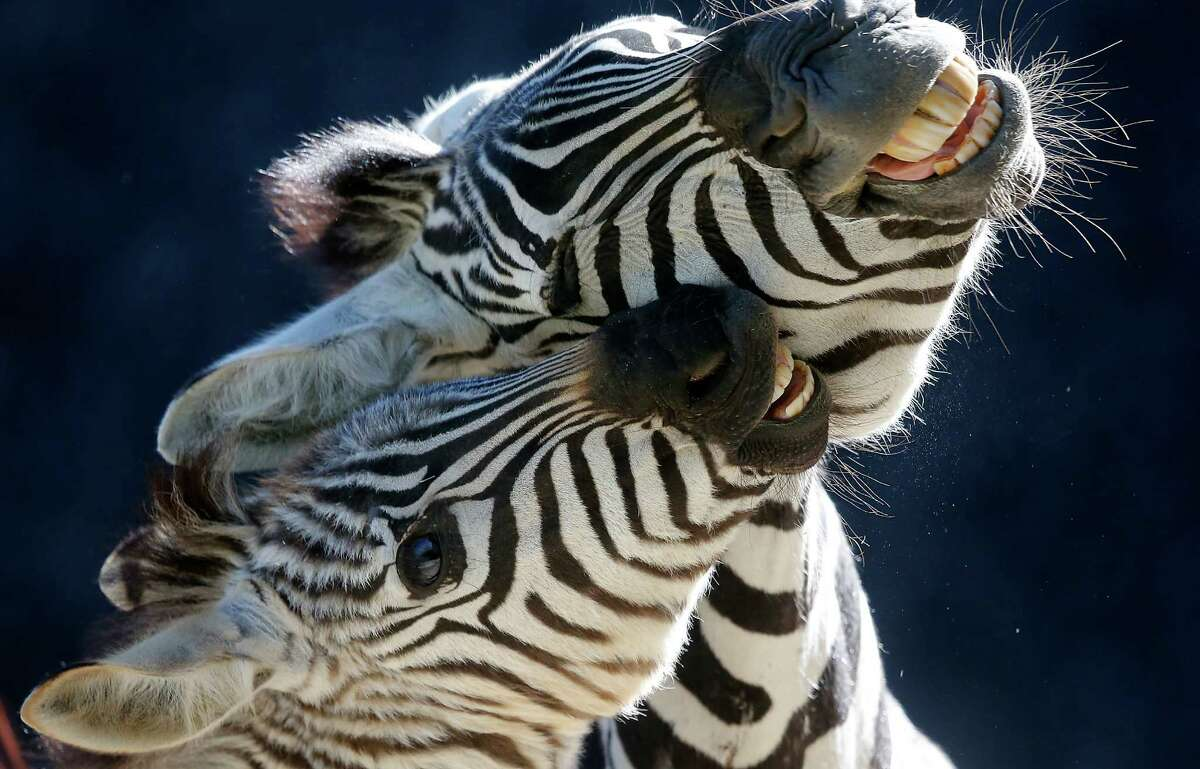 A five-month-old male zebra Jambo, left, plays with its mother while shown to public for the first time at the Zoo in Wuppertal, Germany, in 2014. The zebra pictured is the same age as one that is loose in Greene County May 15, 2016. (AP Photo/Frank Augstein)
