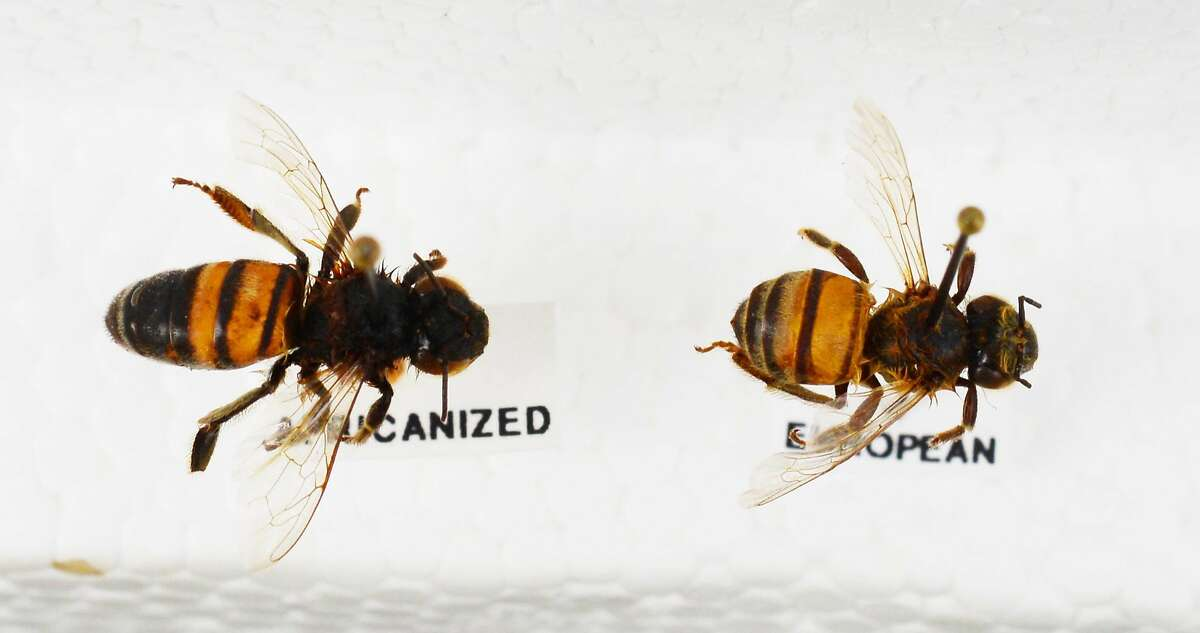 Africanized bee mounted on the left; European bee on the right.