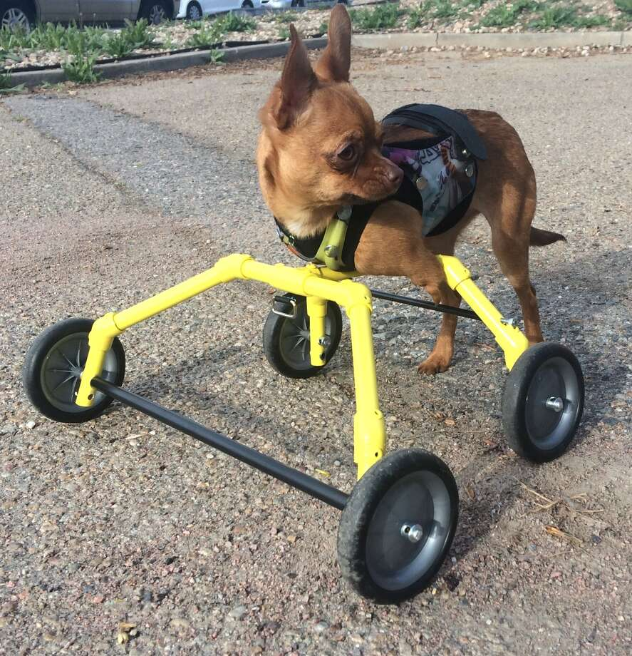 A chihuahua named Daffodil who is missing her front legs found new hope when the SF SPCA helped her get a set of prosthetic wheels. Now, she's enjoying life with her owner in Colorado. Photo: Olivia Kong