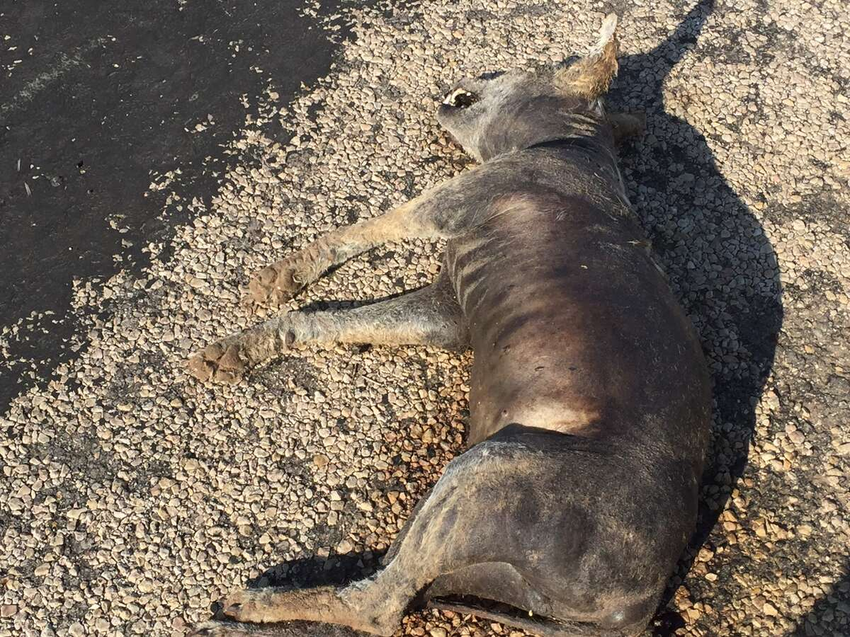 A Texas Game Warden near Whiteface found what a woman had said was the corpse of the mythical chupacabra but was really a dead coyote with mange on May 14, 2016.