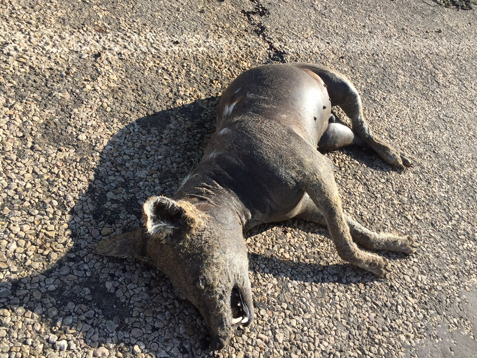 A Texas Woman Thought She Found A Dead Chupacabra Here S
