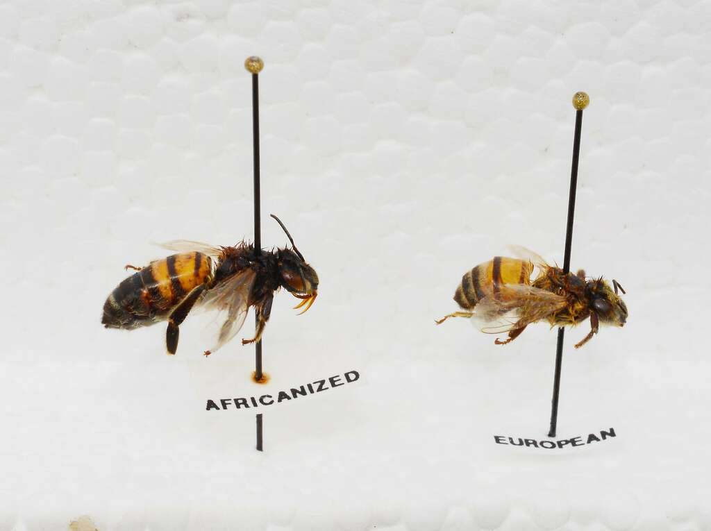 an overview of the killer bee species in africa 100,000 'killer' bees attack: a pair of park rangers in tampa, fla, were hospitalized after disturbing a hive of what are likely africanized 'killer' bees, a hybrid species introduced in the americas in the 1950s.