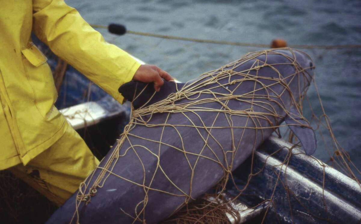 """This handout photo released by World Wide Fund for Nature (WWF) and taken on February 1992 in Santa Clara Gulf, Sonora,Mexico shows a """"Vaquita Marina"""" (Phocoena sinus) apparently dead after having been caught by fishermen in nets for Totoaba fish (Totoaba macdonaldi). Environmentalists of WWF warned that Mexico's vaquita marina, the world's smallest porpoise, was close to extinction as the government reported that only 60 were now left. The vaquita's fate has been linked to another critically endangered sea creature, the totoaba, a fish that has been illegally caught for its swim bladder, which is dried and sold on the black market in China. / AFP PHOTO / WWF-OMAR VIDAL / Omar Vidal / RESTRICTED TO EDITORIAL USE - MANDATORY CREDIT """"AFP PHOTO / WWF/Omar Vidal"""" - NO MARKETING NO ADVERTISING CAMPAIGNS - DISTRIBUTED AS A SERVICE TO CLIENTS OMAR VIDAL/AFP/Getty Images"""