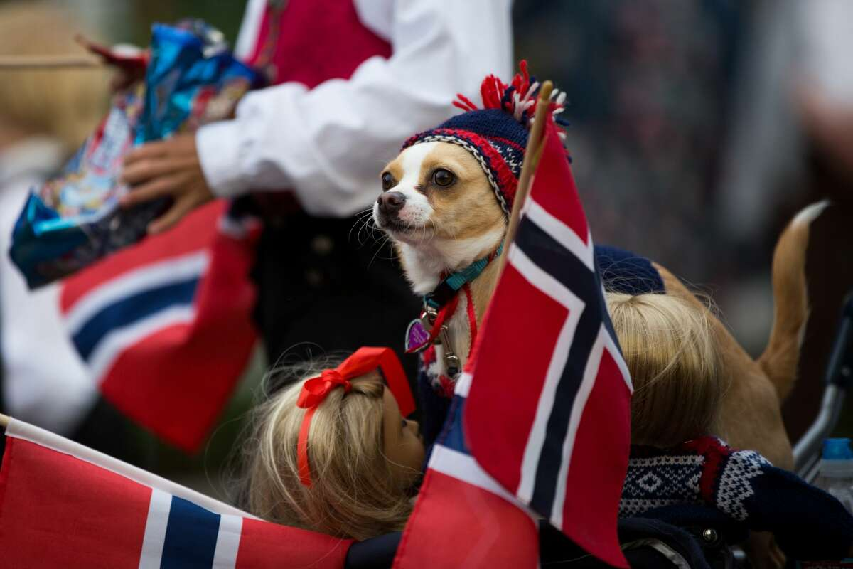 Rosie Mae is surrounded by Norwegian dolls and flags during the annual Syttende Mai parade through Ballard, Tuesday, May 17, 2016. The parade celebrates Norway's Constitution Day.