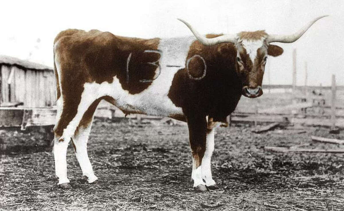 Branded Bevo: Bevo, the school's mascot, got his name after Texas A&M branded him with