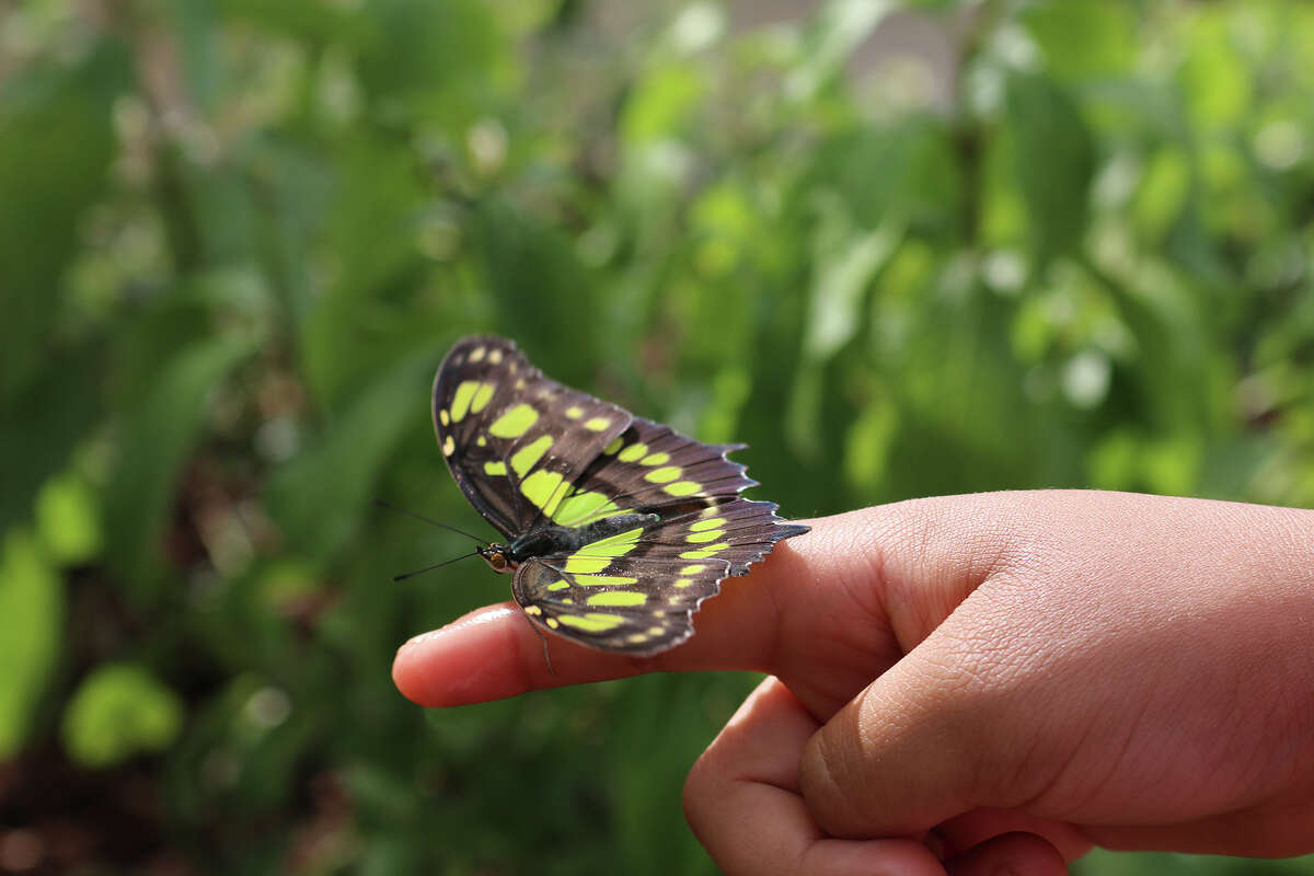 """The """"Flutter Zone"""" is an interactive exhibit in the aquarium's riverfront courtyard, where tropical butterflies steal, as well as run the show."""