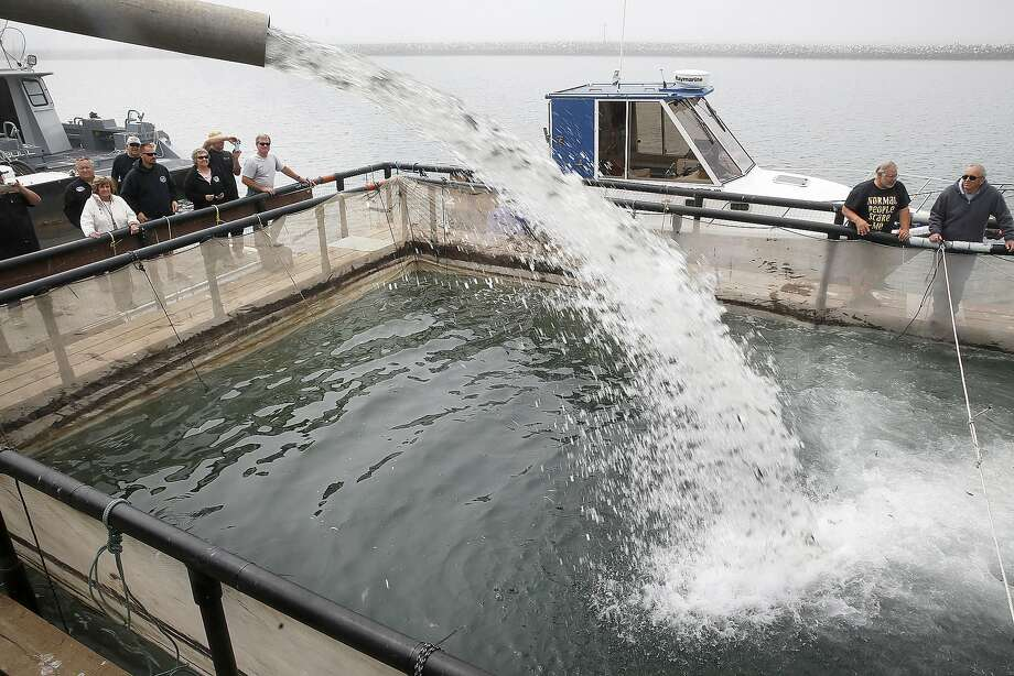 Tanker trucks from the Mokelumne Fish Hatchery deliver 160,000 baby salmon to keep in pens at Johnson Pier in Half Moon Bay, California, on wednesday, may 18, 2016, until their release into the ocean in five days. Photo: Liz Hafalia, The Chronicle