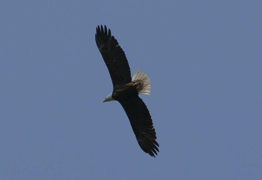 Bald eagle. Photo: Tom Stienstra