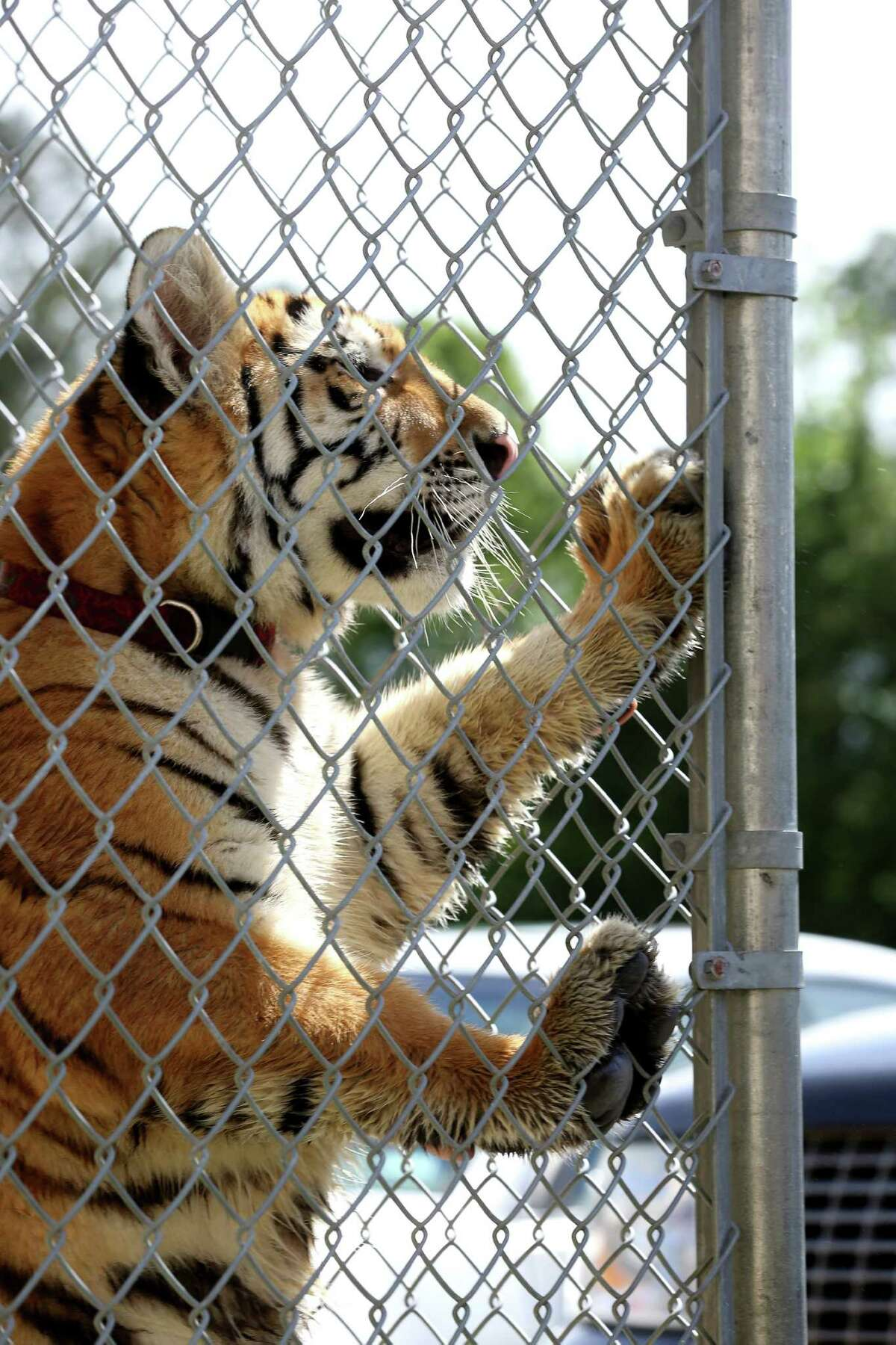 A young female tiger, found around noon in Conroe, is seen at the City of Conroe Animal Shelter Thursday, April 21, 2016, in Conroe. Authorities are looking for its owner, and they suspect it was a pet. ( Jon Shapley / Houston Chronicle )