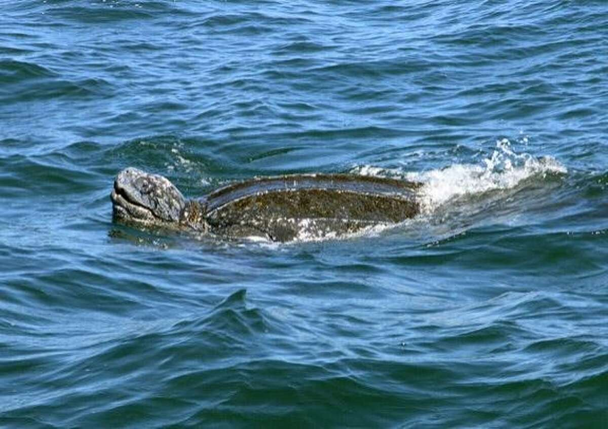 West coast leatherback sea turtle