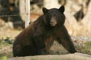 In this Friday, Oct. 23, 2015, photo a California black bear roams in Three Rivers, Calif. Tourists hoping to see a bear in Sequoia National Park this fall probably stand a better chance spotting one in this tiny town at the park�s entrance. Three Rivers is literally crawling with hungry bears driven down from the mountains by drought in search of food to fatten up for the winter. The four-year drought shriveled the berry crop in the Sierra Nevada and oaks on parched hillsides produced fewer acorns, forcing the bears into the valleys carved by the branches of the Kaweah River that give this town its name. (AP Photo/Brian Melley)