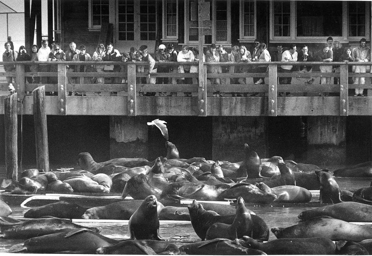 Tourists at Pier 39, look and take pictures of the sea lions and seals in San Francisco Photo shot 02/10/1991