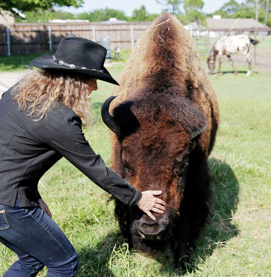 Karen Schoeve pets Bullet, her bison, at her home. Schoeve has recently found a new home for Bullet — but she can visit her any time. Photo: Vernon Bryant /Dallas Morning News / Dallas Morning News