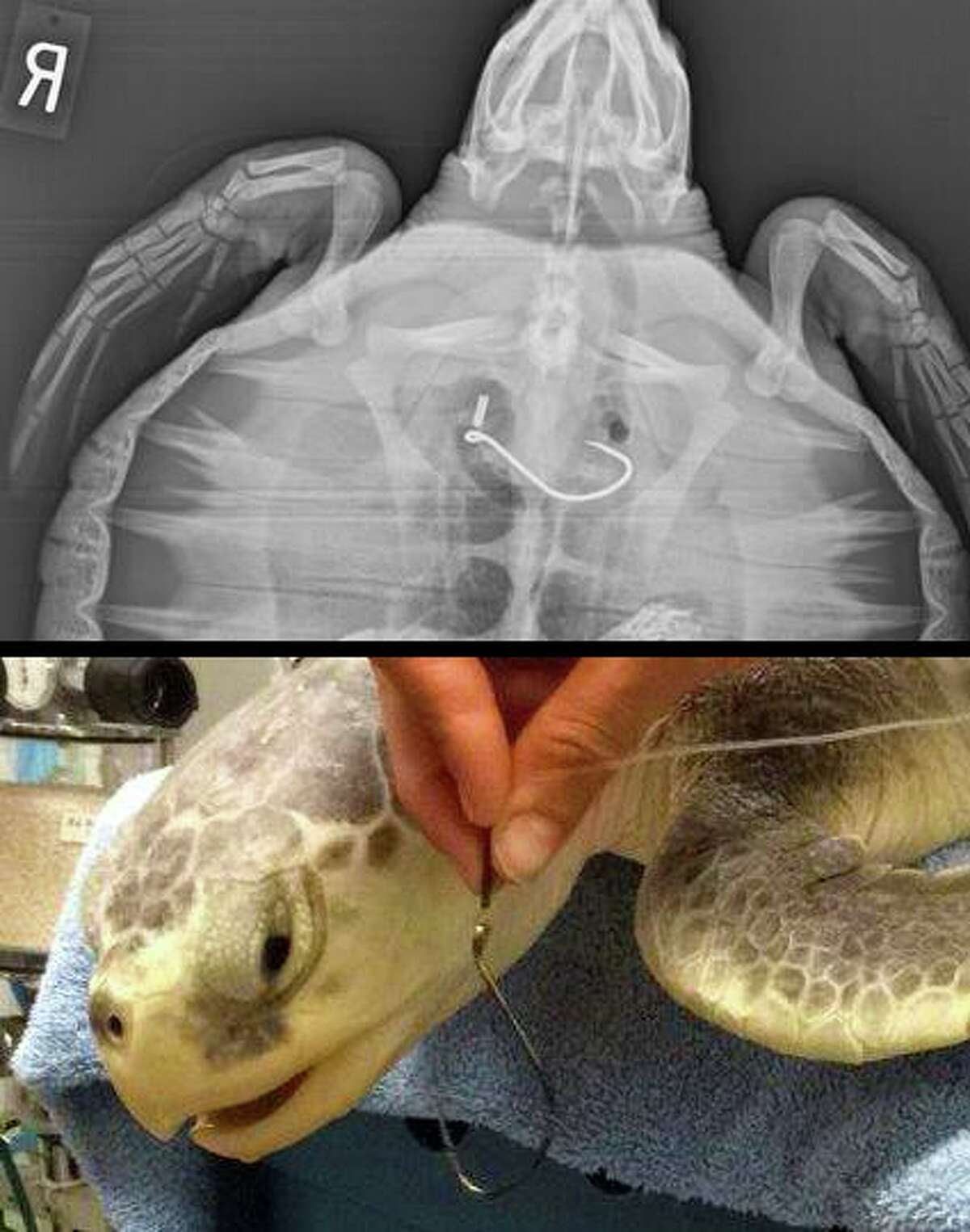 Sea turtles recovered by the National Oceanic and Atmospheric Administration Monday were given veterinary care Monday at the Houston Zoo. The sea turtles were brought back to Galveston later in the day Monday to NOAA for monitoring.