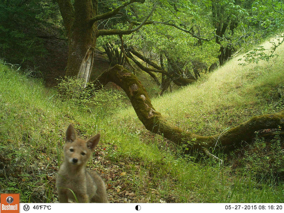 An adorable coyote pup (with its brothers and sisters not pictured) eyes the strange camera near White Hill.