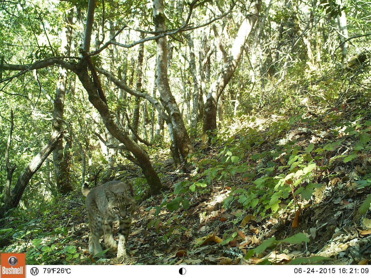 A bobcat slinks toward a camera in Cascade Canyon.