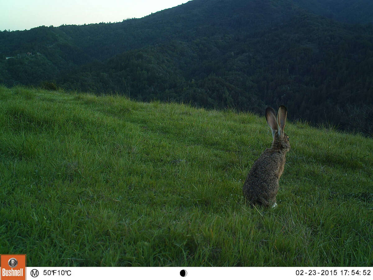 A jackrabbit near Bald Hill ponders the meaning of life, we guess.