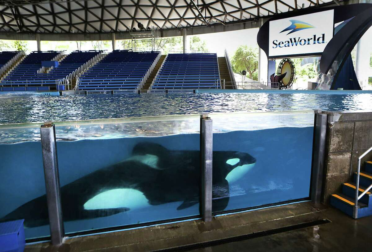 One of the killer whales at SeaWorld San Antonio swims in Shamu Theater during an