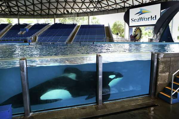 "One of the killer whales at SeaWorld San Antonio swims in Shamu Theater during an ""open viewing"" at ""One Ocean"", on Friday, May 20, 2016."