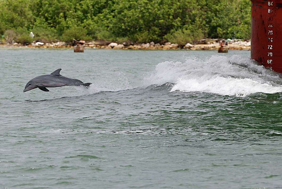A bottlenose dolphin jumps out of the water in front of a ship Wednesday in Port Aransas.