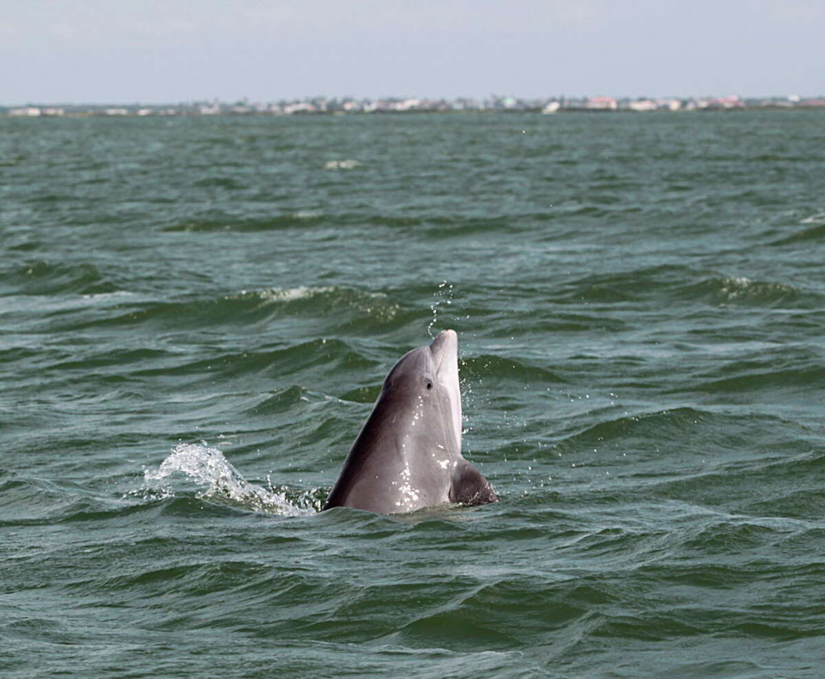 A bottlenose dolphin rises out of the water during a dolphin survey Tuesday, May 17, 2016, in Port Aransas.Photo taken under the authority of NMFS Loc No. 18715