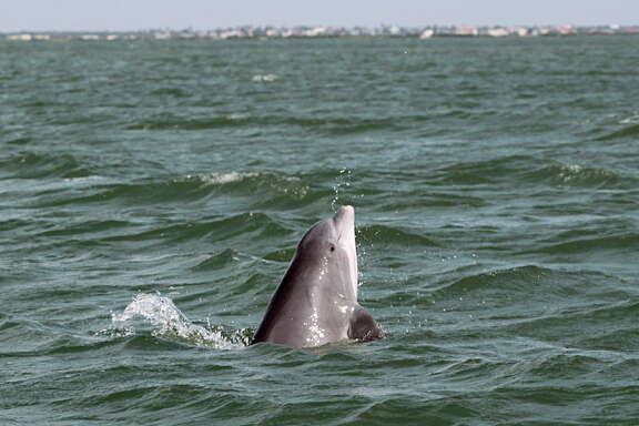 A bottlenose dolphin rises out of the water during a dolphin survey Tuesday, May 17, 2016, in Port Aransas.  Photo taken under the authority of NMFS Loc No. 18715