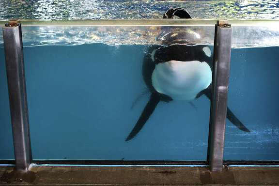 One of the killer whales at SeaWorld San Antonio swims up to the glass tank wall in Shamu Theater on Friday.