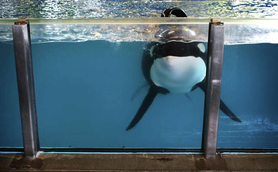 One of the killer whales at SeaWorld San Antonio swims up to the glass tank wall. In a deal announced Friday, Zhonghong will buy SeaWorld stock at $23 per share. Reuters calculated the deal was worth about $429 million. Photo: Bob Owen /San Antonio Express-News / ©2016 San Antonio Express-News