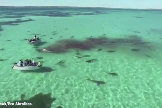 A screen grab from the viral video by the charter boat company  Eco Abrolhos  showing tiger sharks eating a whale in Shark Bay, in Western Australia. Check out the video below.