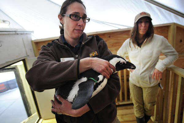 Zookeepers Lindsay Carubia, left, and Jamie Cantoni with one of the four visiting African penguins on exhibit at the Beardsley Zoo in Bridgeport. The birds will be on display through Sept. 30.