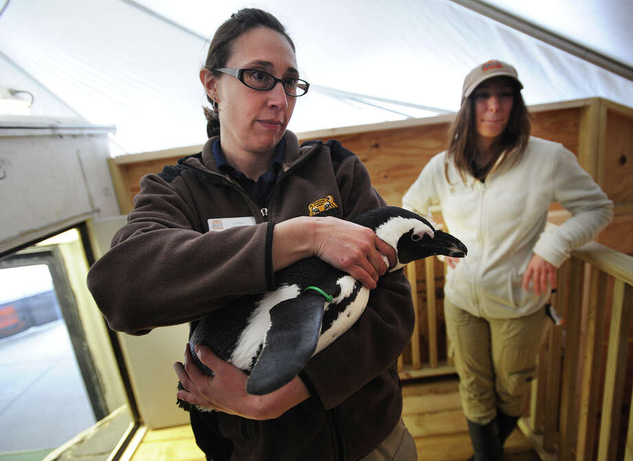 Zookeepers Lindsay Carubia, left, and Jamie Cantoni with one of the four visiting African penguins on exhibit at the Beardsley Zoo in Bridgeport. The birds will be on display through Sept. 30. Photo: Brian A. Pounds / Hearst Connecticut Media / Connecticut Post